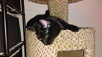 Domestic Shorthair Cat for adoption in St Paul, Minnesota - Luigi