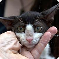 Adopt A Pet :: Sir Isaac - Brooklyn, NY
