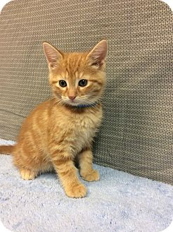 Domestic Mediumhair Kitten for adoption in Moody, Alabama - Carl