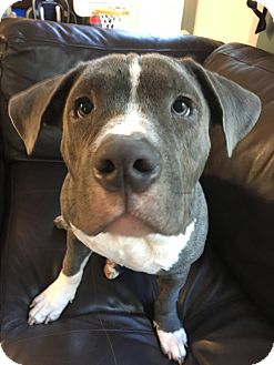 Pit Bull Terrier Mix Puppy for adoption in Loxahatchee, Florida - Caleb