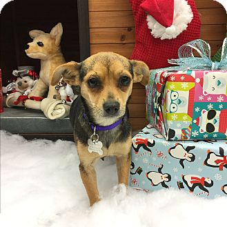 Miniature Pinscher/Chihuahua Mix Dog for adoption in beverly hills, California - Mary HRH