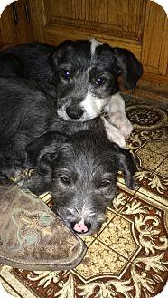 Terrier (Unknown Type, Medium) Mix Puppy for adoption in Albuquerque, New Mexico - Bean