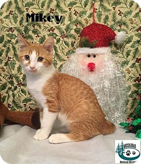 Domestic Shorthair Kitten for adoption in Huntsville, Ontario - Mikey - Adopted January 2017