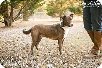 Australian Shepherd Mix Dog for adoption in Franklin, Tennessee - Baxter
