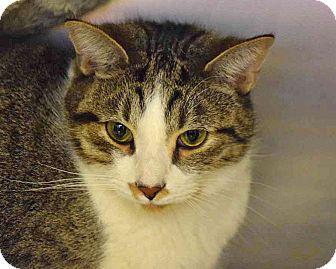 Domestic Shorthair Cat for adoption in Sierra Vista, Arizona - Baron