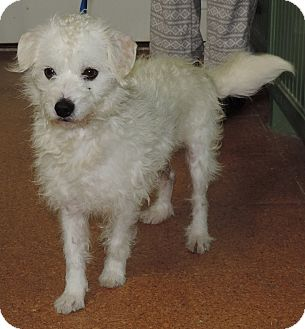 Terrier (Unknown Type, Small)/Poodle (Miniature) Mix Dog for adoption in Plano, Texas - Casper