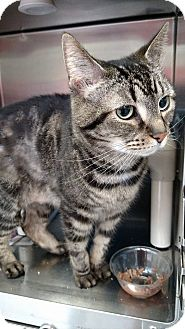 Domestic Shorthair Cat for adoption in Elyria, Ohio - Pookie