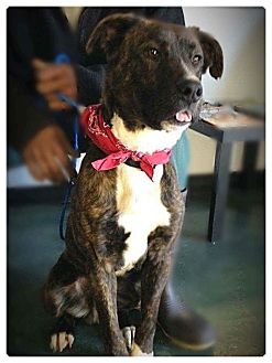 Mountain Cur Mix Dog for adoption in Greensboro, North Carolina - Spot