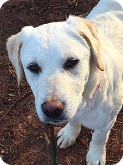 Labrador Retriever Mix Dog for adoption in CUMMING, Georgia - Serena