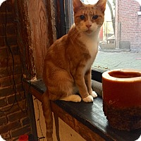 Domestic Shorthair Cat for adoption in New  York City, New York - Stella