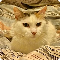 Calico Cat for adoption in Brooklyn, New York - Sweet Sophia, Maine Coon/Calico Mix