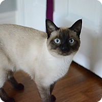 Adopt A Pet :: Purrcy - Lexington, KY
