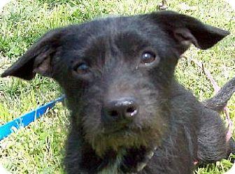 Terrier (Unknown Type, Medium)/Dachshund Mix Dog for adoption in Guthrie, Oklahoma - Blackie