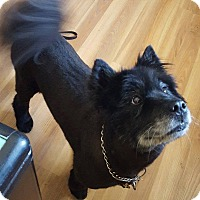 Chow Chow Mix Dog for adoption in West Branch, Michigan - Asia