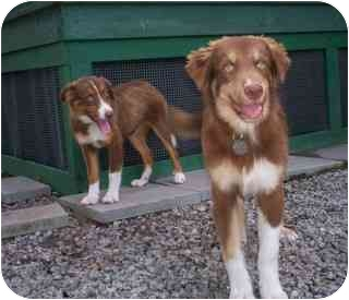 Australian Shepherd Mix Puppy for adoption in Savannah, Georgia - Oakley