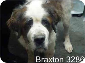 St. Bernard Dog for adoption in Manassas, Virginia - Braxton