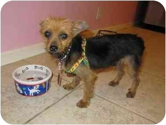 Yorkie, Yorkshire Terrier Puppy for adoption in West Palm Beach, Florida - Mattie