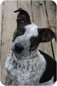 Australian Cattle Dog Mix Dog for adoption in Waterloo, New York - Chance