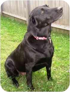 Labrador Retriever Mix Dog for adoption in Osseo, Minnesota - Abby