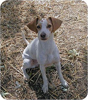 Whippet/Beagle Mix Dog for adoption in Clarksville, Tennessee - Morgan