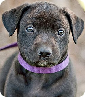 Labrador Retriever Mix Puppy for adoption in Portsmouth, Rhode Island - Paprika