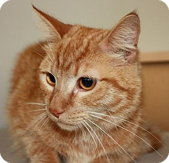 Domestic Shorthair Cat for adoption in North Highlands, California - Mickey2