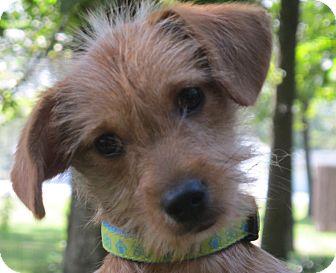 Terrier (Unknown Type, Medium)/Dachshund Mix Puppy for adoption in Allentown, Pennsylvania - Snickerdoodle