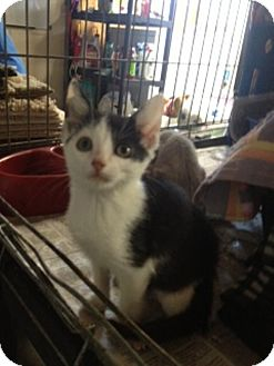 American Shorthair Cat for adoption in Foster, Rhode Island - Ben