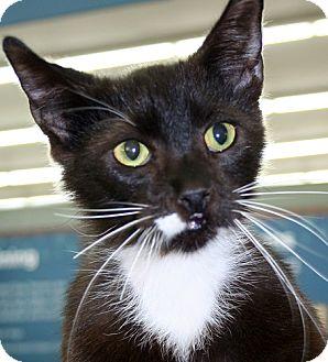 Domestic Shorthair Cat for adoption in Asheville, North Carolina - Gismo