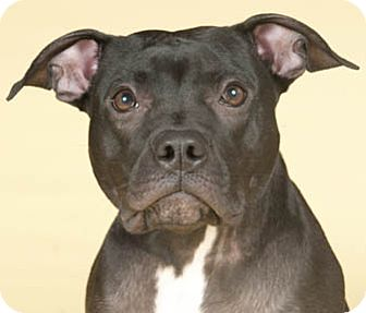 American Pit Bull Terrier Dog for adoption in Chicago, Illinois - Karly