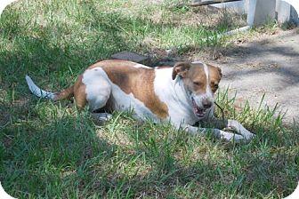 Foxhound Mix Dog for adoption in Minneola, Florida - Brandy
