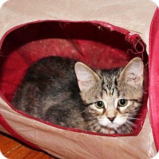 Domestic Shorthair Kitten for adoption in Brighton, Michigan - Ghost
