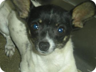 Chihuahua Mix Dog for adoption in Corona, California - DANIEL