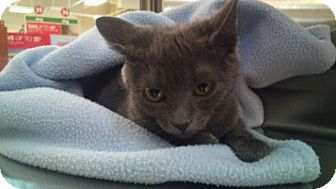 Domestic Shorthair Kitten for adoption in Modesto, California - Ruby