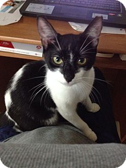 Domestic Shorthair Kitten for adoption in Homestead, Florida - Splash CL Kym