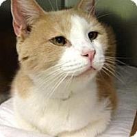 Adopt A Pet :: Mozzarella - Fairfield, CT