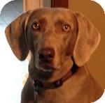 Weimaraner Dog for adoption in St. Louis, Missouri - Molly