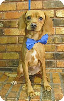 Beagle Mix Dog for adoption in Benbrook, Texas - Dale