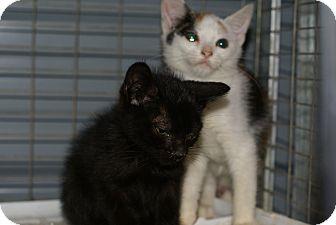 Domestic Shorthair Kitten for adoption in Henderson, North Carolina - Dumpster Kittens