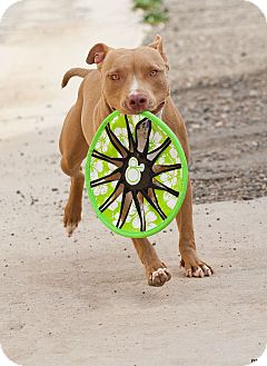 American Staffordshire Terrier Mix Dog for adoption in Washoe Valley, Nevada - Gus