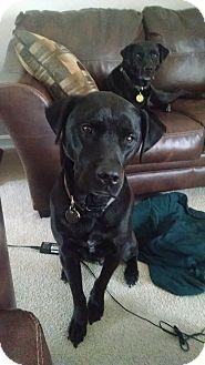 Labrador Retriever Dog for adoption in Columbus, Indiana - Bailey & Marerick