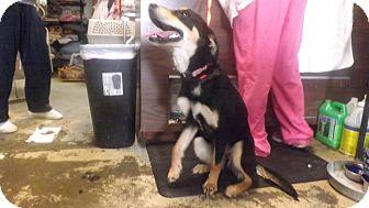 Shepherd (Unknown Type)/Labrador Retriever Mix Dog for adoption in Columbus, Kansas - Fancy