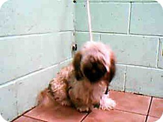 Shih Tzu/Lhasa Apso Mix Dog for adoption in Long Beach, California - Brownie URGENT