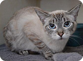 Siamese Cat for adoption in Michigan City, Indiana - Basset