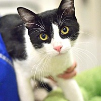 Domestic Shorthair Cat for adoption in Ft. Lauderdale, Florida - Stryker Too