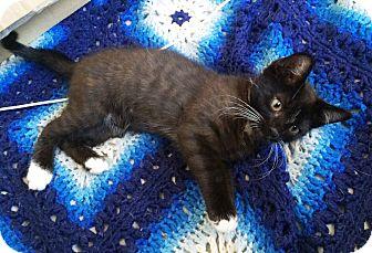 Domestic Shorthair Kitten for adoption in Riverside, California - Matilda