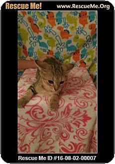 Abyssinian Kitten for adoption in Waldorf, Maryland - Lenny