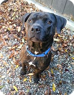 American Pit Bull Terrier Mix Dog for adoption in Irwin, Pennsylvania - Chucky