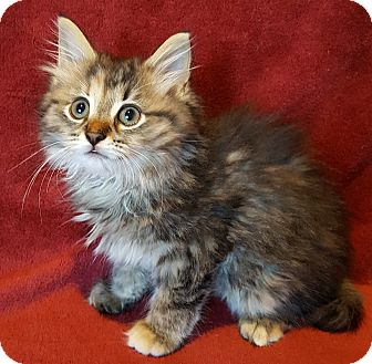 Maine Coon Kitten for adoption in Nashville, Tennessee - Cinderella