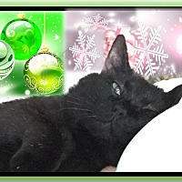 Domestic Shorthair Cat for adoption in Harrisburg, North Carolina - Biscuit